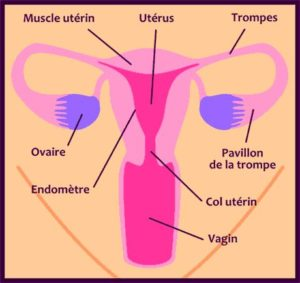 sexe interne femme